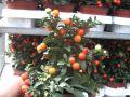 Psianka pieprzowa (Solanum) 13cm